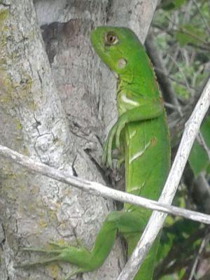 Iguana resgatada pelos agentes ambientais